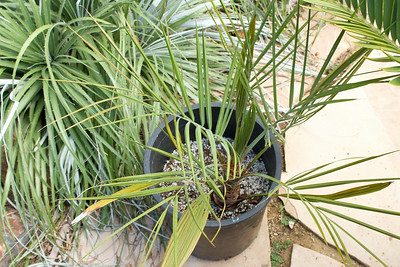 Unknown South American palm....  perhaps a Mule Palm, or otther Butia mix?
