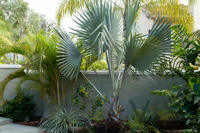 Palms of Madagascar, l to r Dypsis Lutescens the Golden Cane Palm, Bismarkia Nobilis and Dypsis Pembana