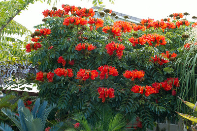 African Tulip tree now provides privacy and shade for the garden.  Lots of flowers to pick up as each of the blooms only lasts a couple of days, with new blooms opening daily.
