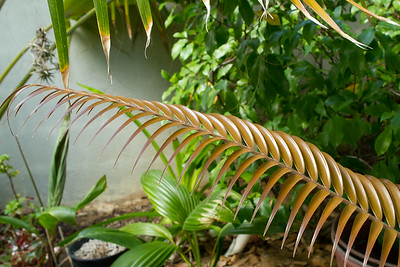 Ceratozamia Mexicana cycad bronze leave and leaflets