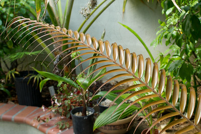 Cupping of the leaflets of this ceratozamia mexicana is quite apparant in this light