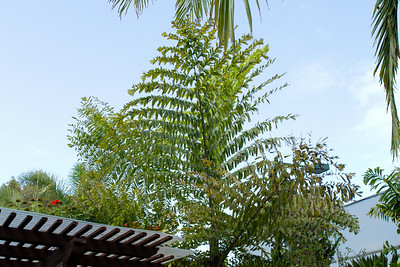 Caryota gigas bipinnate palm, the fastest grower in the garden is getting massive with each new frond that opens.
