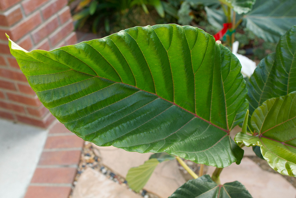 Leaf of a Ficus Dammaropsis also known as the Dinner Plate Ficus.