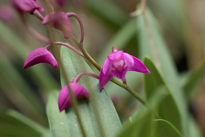 """""""Down the throat"""" Orchid with buds 2/22/2015"""