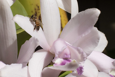 Bee on Cattleya orchid 4/05/2015