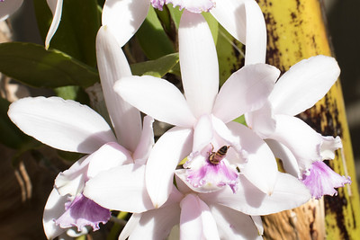 Cattleya orchids and bee 4/05/2015