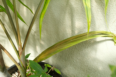 Emerging leaf on a shoot from the Dypsis Lanceolata palm.