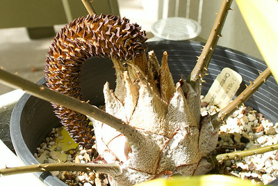 Spent male cone of Ceratozamia Pacifica,