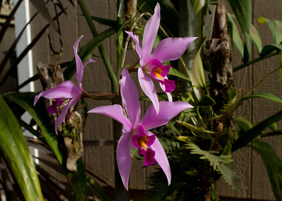 Orchid flower, Laelia Anceps