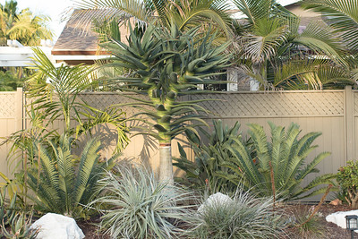 Front garden maturing, mostly undisturbed during the remodel.  Aloe Hercules, with Encephalartos natalensis x horridus on either side, Puyas in front and a multi-trunked Dypsis pembana to it's left.