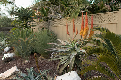 Drought tolerant plantings in the front garden strip:  Aloe blooming, Dasylirion longissimum, Encephalartos species cycads, agave's and dry condition species bromeliads (Dyckia and Puya). 3/16/2015