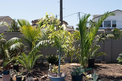 Mix of planted palms and potted palms and cycads waiting for their final spots in the garden.