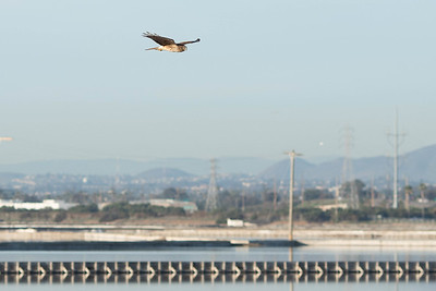 Predator flying over the ponds in search for....???