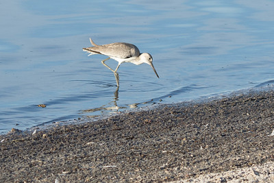 Shorebird in a saltworks pond, enjoying some brine flies.