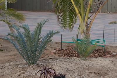 Encephalartos horridus, E cupidus and Dypsis prestoniana behind  (l -r)