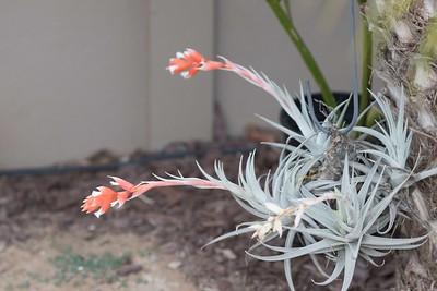 Tillandsea in bloom