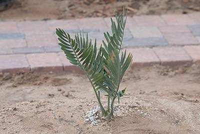Encephalartos nubimontanus newly planted on 4/3/2016