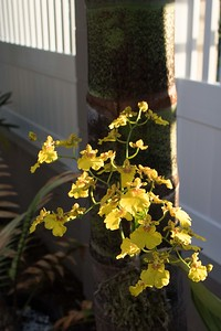 Oncidium orchid mounted on King palm