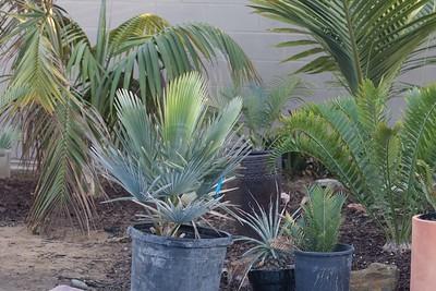 Copernicia baileyana with assorted palms and cycads