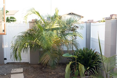 Dypsis lutescens palm with Ficus dammaropsis below it in foreground