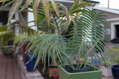 Encephalartos inopinus
