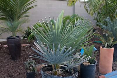 Copernicia baileyana palm, native to Cuba