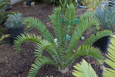 Encephalartos horridus x woodii with blue cycads in adjacent pots E. horridus and E trispinosis