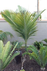 Kentiopsis oliviformis with cycads in foreground