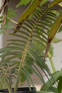 Encephalartos inopinus 8-25-2015