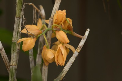 Dendrobium moschatum flowers