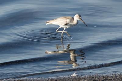 Shorebird foraging at South Bay Salt Works; San Diego Bay, 2/02/2015