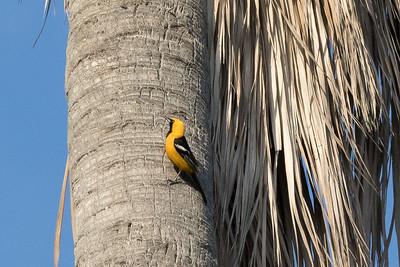 Hooded Oriole on fan palm trunk where it is nesting.